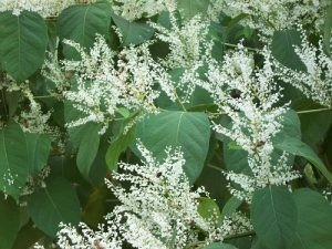 japanese knotweed flowering