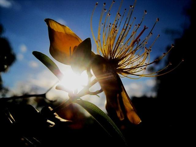 silhouette of st john's wort plant