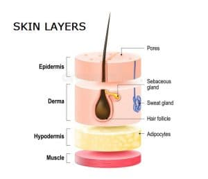 illustration of skin layers and their names showing the hair follicle, pores, and sweat gland in the dermal layers